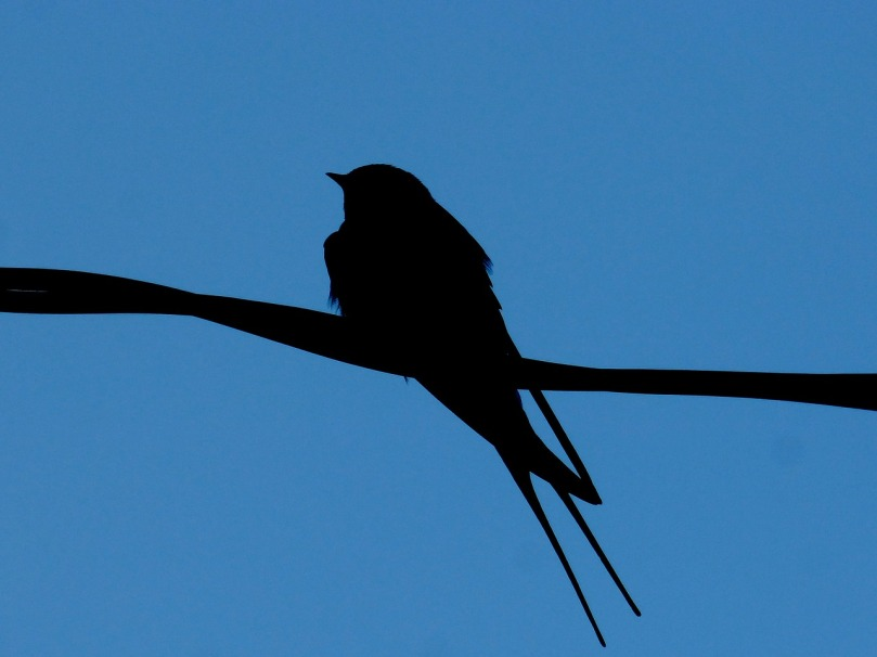 Backlit swallow